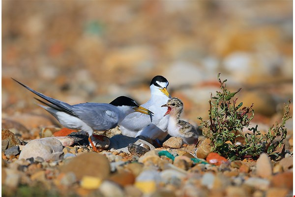 little tern (photo by Su Hui-chao)