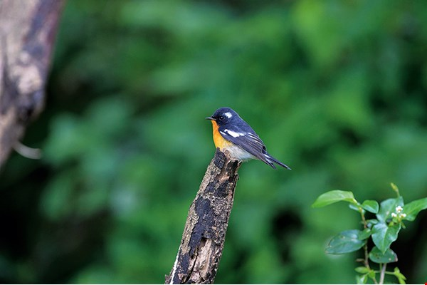 Mugimaki flycatcher (photo by Lin Lizhong)