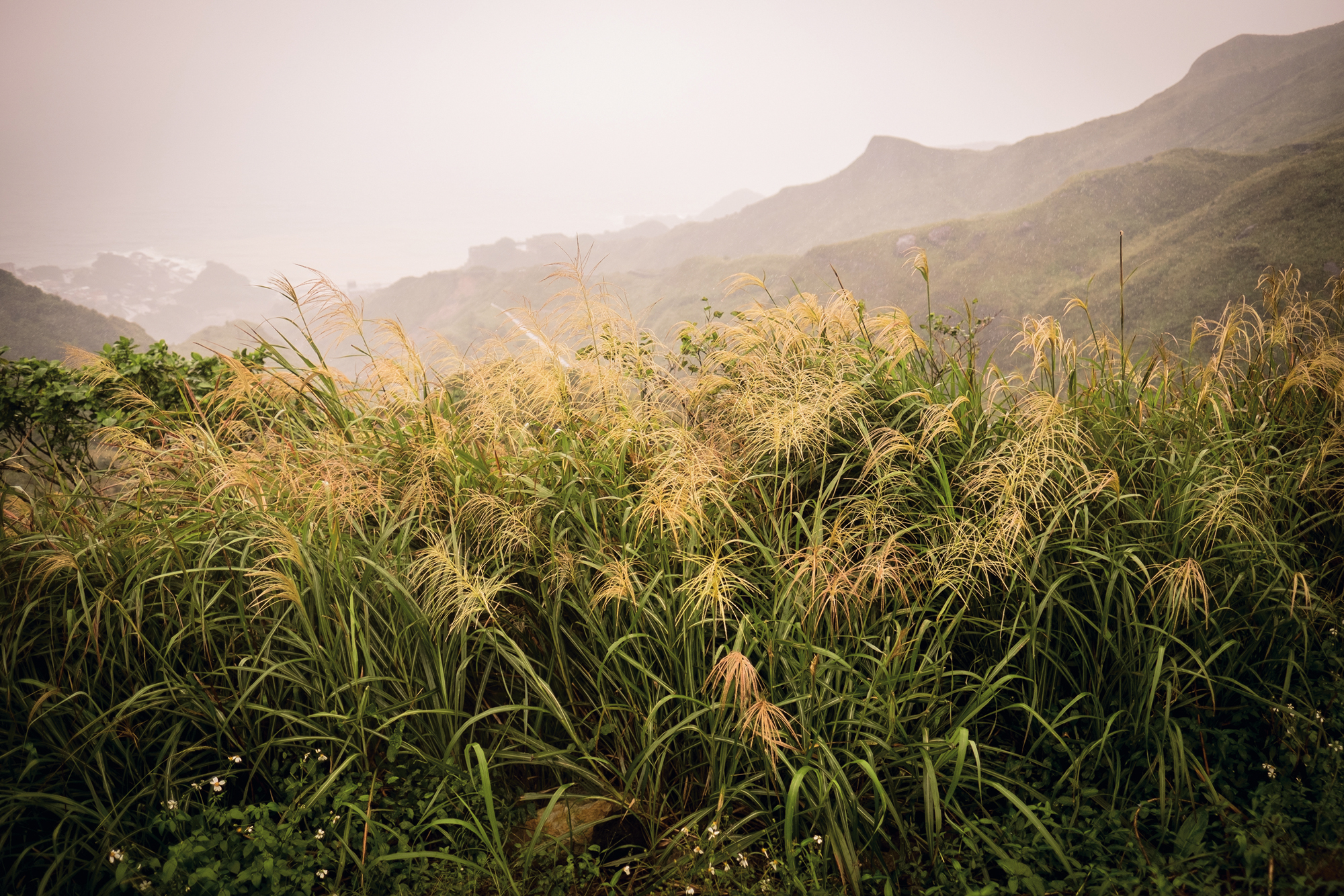 Silvergrass flowers at the foot of Teapot Mountain near Jinguashi herald the arrival of late autumn.