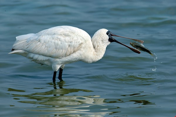 Just one-tenth of the area used for aquaculture in the Qigu District of Tainan would be enough to meet the needs of the black-faced spoonbill and its companion birds when they are wintering in Taiwan.