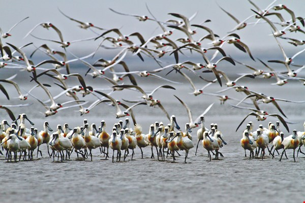 Black-faced spoonbills (photos courtesy of Taijiang National Park Headquarters)