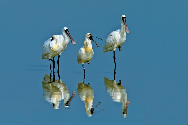 A black-and-white mixed-breed black-faced spoonbill (center), photographed in Kaohsiung's Qieding District. The band on the bird's leg helps researchers track its movements and understand its way of life.