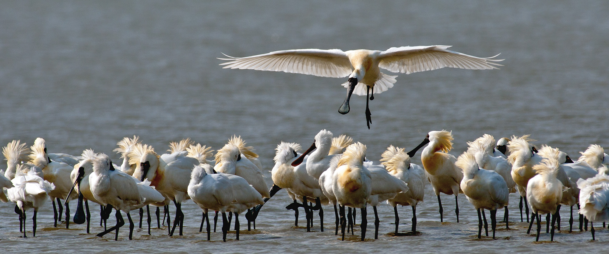 During the black-faced spoonbill's reproductive season, the adult birds grow yellow breeding plumage on their heads and breasts.
