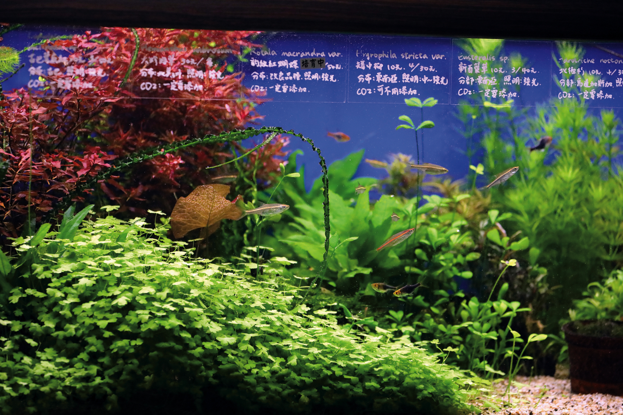 Different fish species and aquatic plants each require their own expert knowledge.  Jer Yuan Aqua Design owner Zhang Rongzhe suggests that shop owners should  develop their own areas of expertise if there is to be a healthy market.