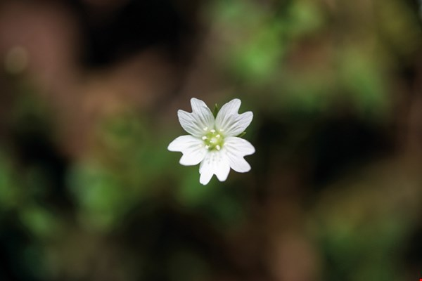an Alishan chickweed blossom