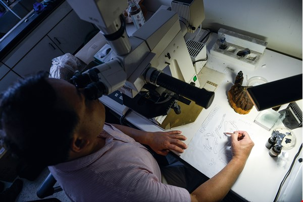 Details of a specimen that are invisible to the naked eye are observed under a microscope before being incorporated into an illustration.