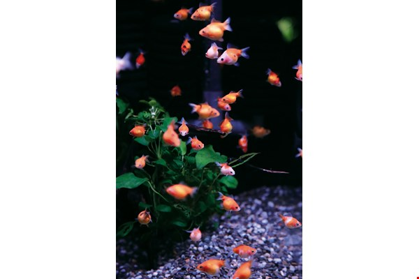 Zhang Rongzhe says that ornamental fish are pets that need meticulous care, not mere toys for people's entertainment.