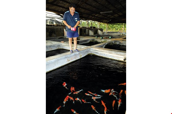 There are many bacteria and viruses associated with koi carp. This is why disease prevention measures at the Luxe Fancy Carp (Koi) Farm are so strict. To prevent infection, fish that have been sold cannot reenter the farm.