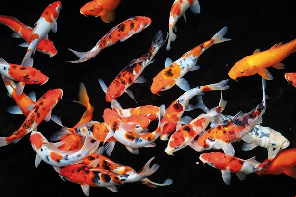 The characteristics of different fish species are suited to different ways of admiring them. Koi carp are famous for the patterns on their backs, and are best viewed from above.