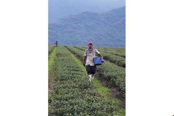 The Laopi tea plantation's irrigation system supplies water to 200 hectares and requires a team of only four workers to operate. From its founding, the plantation has been looking to systematic management and mechanized production to save on manpower.