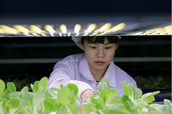 With 12-channel-spectrum LED lights, YesHealth creates artificial sunlight that allows the farm to grow vegetables out of season. (photo by Jimmy Lin)