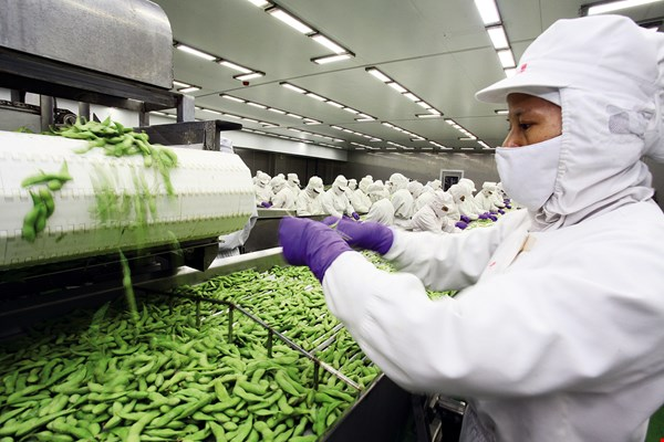 One of the keys to Taiwan's strong position in the global edamame market is that no more than four hours elapse from picking to freezing. (photo by Jimmy Lin)