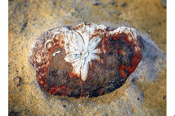 "Clearly visible in Yehliu Geopark are the ""body fossils"" of creatures such as Astriclypeus yeliuensis and Echinodiscus yeliuensis, two species of early Miocene ""sand dollar"" sea urchins that have been found only in Taiwan."