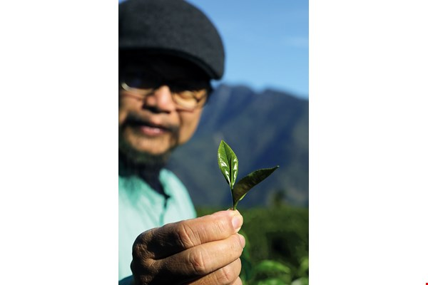 "Tea leaves grown ""in the wild"" do not become soft and mushy after being steeped for a long time, demonstrating that they have absorbed the vitality of the land."