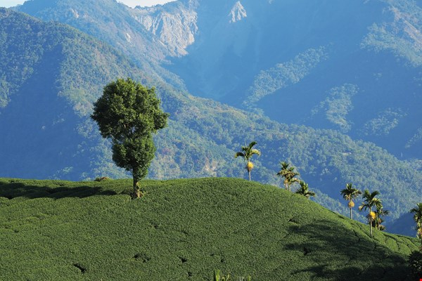 Ecological Sustainability in Mountain Tea Plantations (photo by Jimmy Lin)
