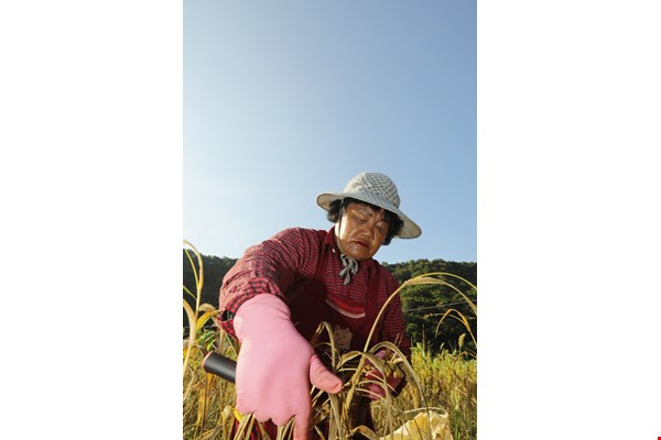 Pan Zhuju, a tina (elderly Bunun woman), harvests millet. She has a strong attachment to traditional crops.