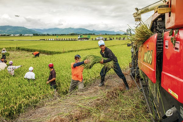 In order to accommodate the arts festival stage, farmers work together to harvest rice before the festival. The rest will be harvested afterwards. (photo by Lo Cheng-chieh, courtesy of Lovely Taiwan)