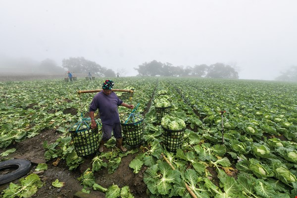 A great many cabbages are grown in Pyanan. Aboriginal workers start harvesting work at 6 a.m.